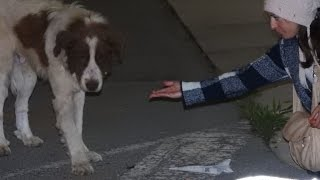 Rescue of a giant dog who didn
