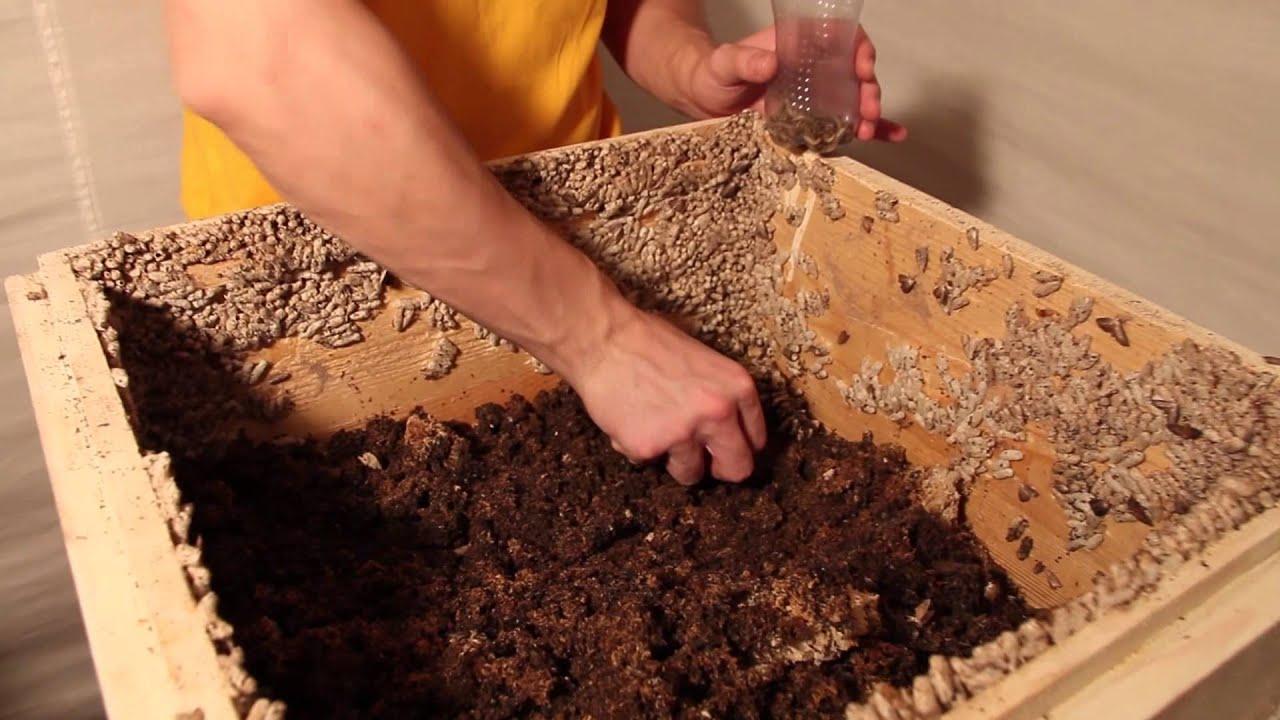 Выращивание личинок восковой моли в домашних условиях
