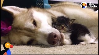 Husky Dog Adopts Stray Cat Saving Her Life | The Dodo: Comeback Kids