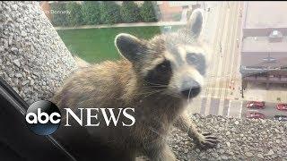 Raccoon stuck on side of building reaches internet stardom