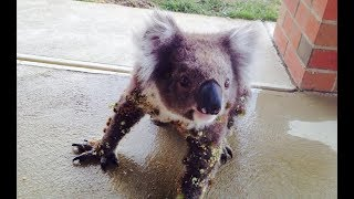 When This Man Locked Eyes With A Wild Koala On His Porch, He Knew Something Was Very Wrong