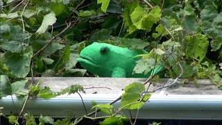 GIANT FROG ATTACK   - CAPTURED ON VIDEO