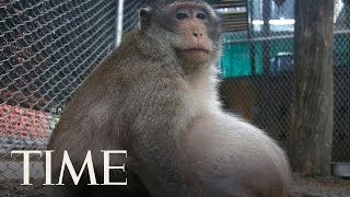 Morbidly Obese Thai Monkey Who Lives Off Junk Food Left By Tourists Is Going On A Diet | TIME