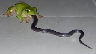Giant frog eats snake: Uncredible !!!!!!