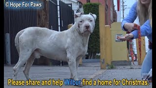 Homeless and abused, this Pit Bull didn