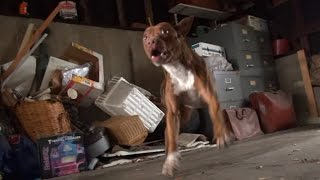 Hope For Paws: Pit Bull rescue like you have never seen before! (Eden)