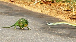 Boomslang Snake Kills a Chameleon Quickly & Swiftly
