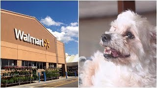 After This Dog Was Found In A Walmart Parking Lot, Carers Uncovered Her Astonishing Story