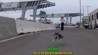 Houdini: an intense rescue of an escape artist!  A MUST SEE!