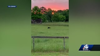 Black bears spotted in the Greer, why they are out and about