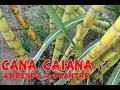 Como plantar CANA Caiana NO QUINTAL.mp3