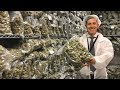 Inside a recreational pot factory in Can...mp3