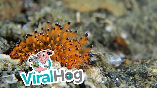 Stunning Sea Creature Found While on Dive in Indonesia || ViralHog