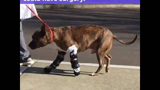 Dog with birth-defected paws walks with prosthetics