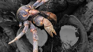 Coconut Crab {Catch Clean Cook}  Rota, CNMI