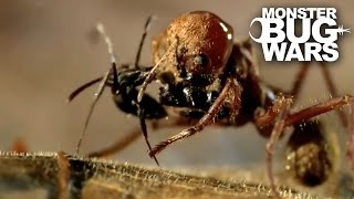 Leafcutter Ant Soldier vs Speckled House Spider | MONSTER BUG WARS