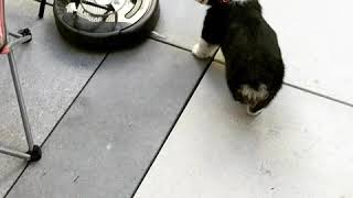 Puppy vs Roomba round 1