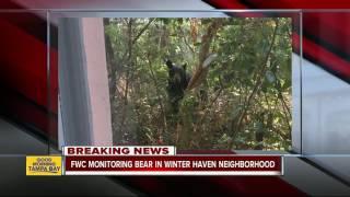 FWC monitoring bear in Winter Haven neighborhood