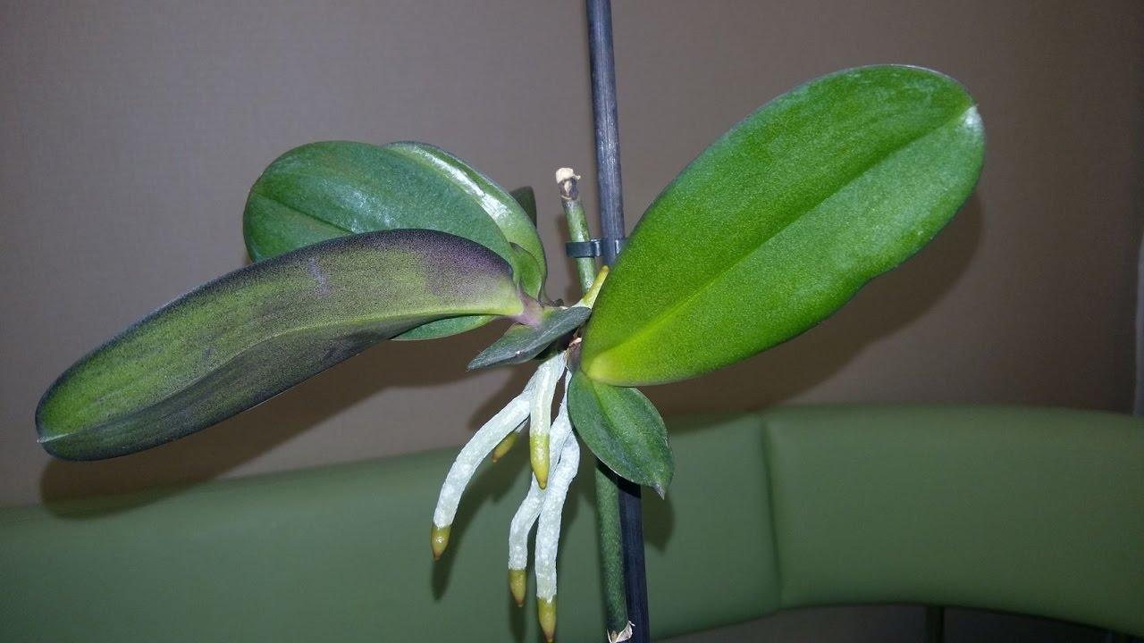 Как получить детку орхидею в домашних условиях