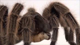 Tarantula feeding!  FANGS IN SLO-MO!!