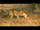 Lion Adopts Antelopemp3