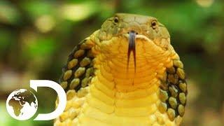 Longest Snake On Earth Eats A Deer Whole | Wildest Islands Of Indonesia