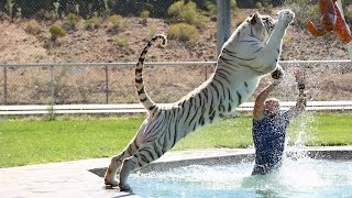 Tiger Splash: Keepers Swim And Play With Fully Grown Big Cats