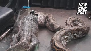 Giant snake vomits up impossibly large lizard | New York Post