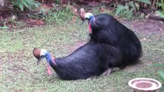 cassowaries mating, July 2016