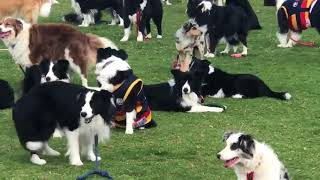 Almost 600 Border Collies Gather in Attempt to Break World Record