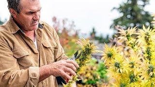 Unfassbares Ergebnis einer Umfrage: Cannabis soll doch nicht legalisiert werden