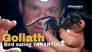 Goliath bird eating tarantula - Fierce