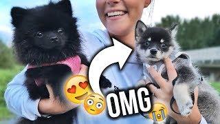 OMG! Das süßeste überhaupt .. Ein neuer POMSKY! 😍😭 | Dagi Bee
