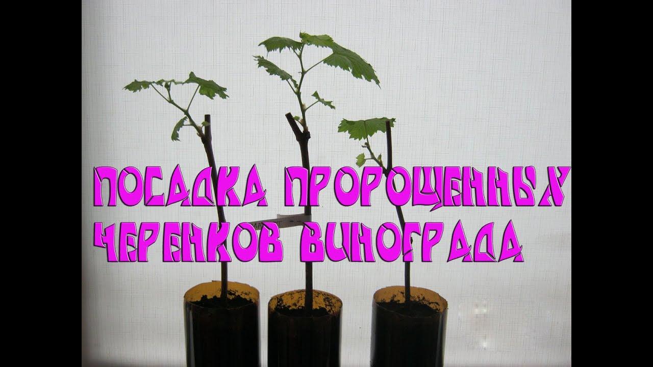 Посадка винограда черенками в домашних условиях