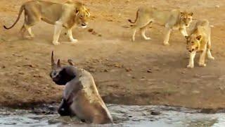 3 Lions Attack Black Rhino That