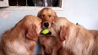 These golden retrievers will make you laugh your ASS OF - Funny dog compilation
