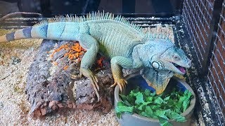 Hangry Iguana