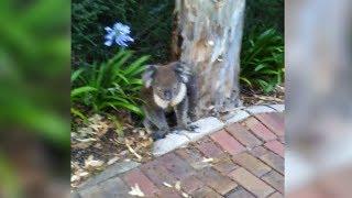 Der Koala wartete auf ihn unter einem Baum!