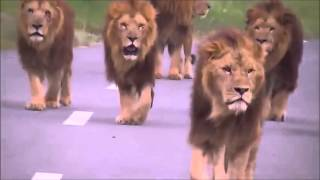 Scary video of Lions walking towards car!