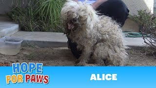 Burned with acid, this poodle makes an incredible transformation that will inspire you!