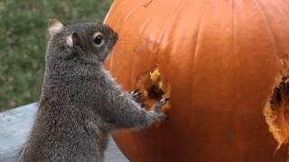 Squirrels Carve Face in Pumpkin!
