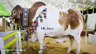 Biggest Cow Of Eid Ul Adha 2017