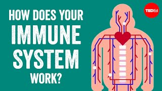 How does your immune system work? - Emma Bryce