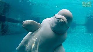 Beluga Whales of the Mystic Aquarium | JONATHAN BIRD