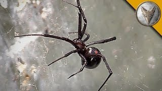 Black Widow Spider Is Too Close For Comfort!