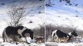 Das Pferd hat Spaß mit den Kojoten - Dreistigkeit vom Feinsten!