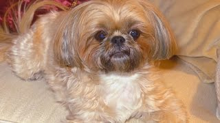Woman Outraged After Spending $1,750 For Shorkie That DNA Test Says Was a Mutt
