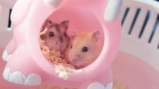 GETTING MY NEW HAMSTERS