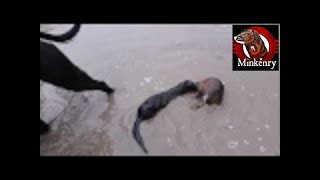 INTENSE Footage of Fang the Mink Getting a Muskrat in the Water