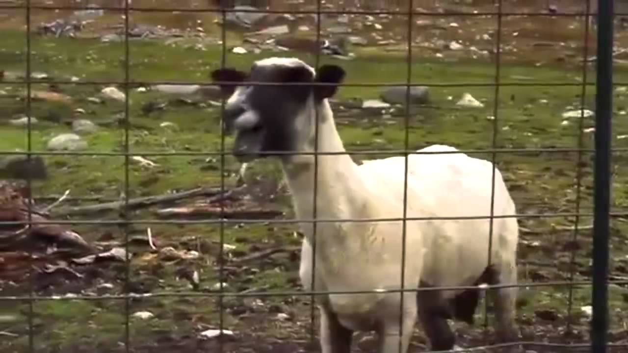 Трахни овечку игра онлайн бесплатно 14 фотография